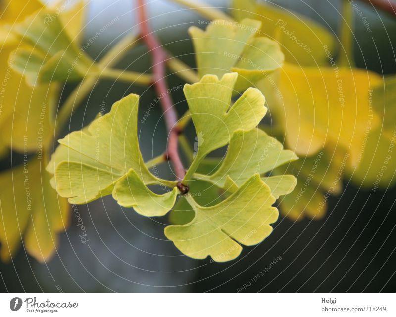 Ginkgo... Umwelt Natur Pflanze Herbst Blatt exotisch Zweig dehydrieren Wachstum ästhetisch klein natürlich grün einzigartig Vergänglichkeit Gesundheit gelb