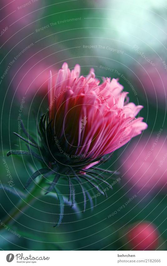 rosa träumen Natur Pflanze Blume Blatt Blüte Garten Park Wiese Blühend Duft schön grün Astern Farbfoto Außenaufnahme Nahaufnahme Detailaufnahme Menschenleer Tag