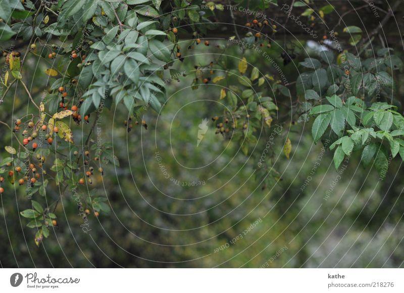 Rapunzels Garten Natur Baum Pflanze Blatt Herbst Sträucher Grünpflanze Hagebutten Nutzpflanze Wildpflanze