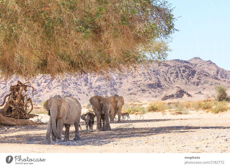 Wüstenwanderung Ferien & Urlaub & Reisen Tourismus Ferne Safari Umwelt Natur Landschaft Pflanze Tier Wärme Dürre Namibia Afrika Wildtier Elefant Springbock