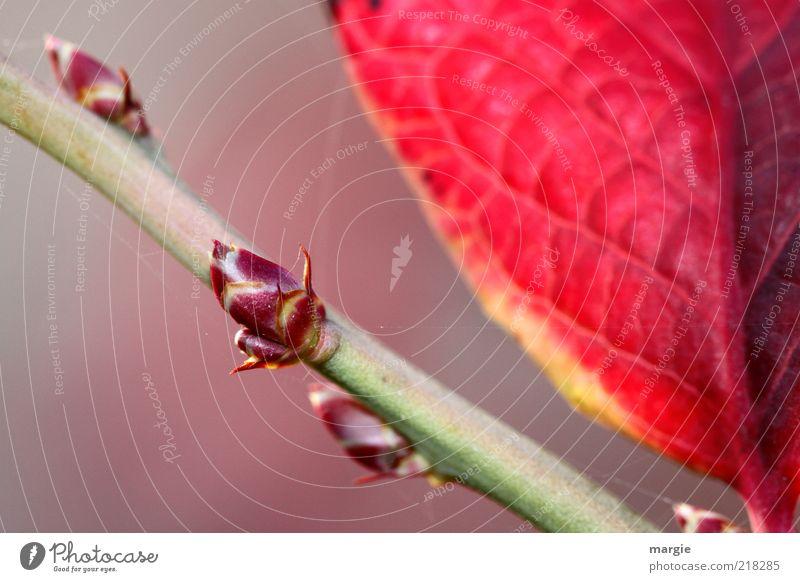 Herbst treiben, Spross am Zweig mit roten Blatt Leben Umwelt Natur Pflanze Blüte Trieb Ast Blütenknospen Stengel Wachstum kalt grün Verfall Vergänglichkeit