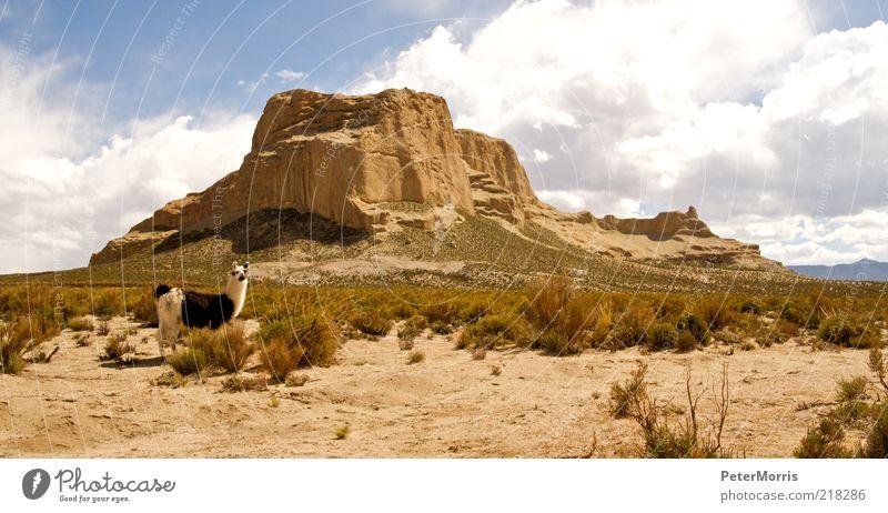Lama auf Tupiza Landschaft Erde Sand Himmel Wolken Sonnenlicht Gipfel Schlucht Wüste Tier Nutztier 1 Fröhlichkeit Akzeptanz Vertrauen Sicherheit Geborgenheit