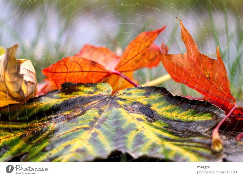 Bunte Herbstblätter im Gras Umwelt Natur Wassertropfen Klima Blatt alt verblüht trist braun mehrfarbig gelb grün rot Gefühle Frustration Traurigkeit Verfall