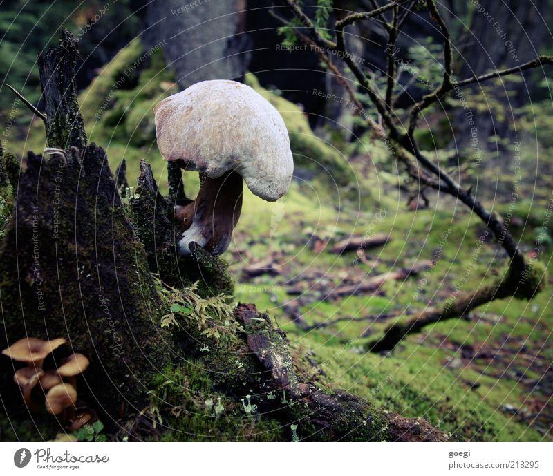 Baumstrunk al funghi Umwelt Natur Pflanze Erde Herbst Moos Pilz Wald dunkel groß nass natürlich Pilzhut Farbfoto Außenaufnahme Menschenleer Tag Waldboden