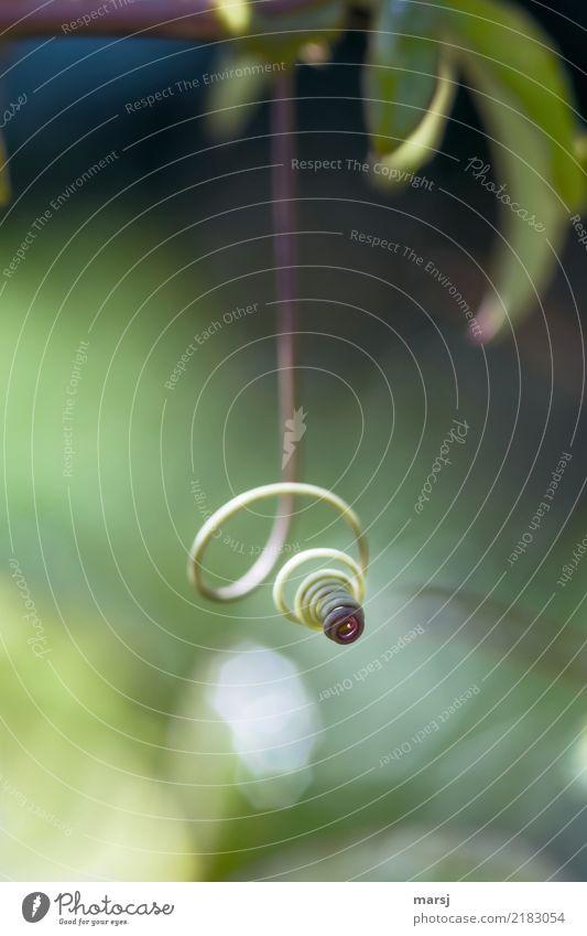 Ton in Ton | hängende Spirale Natur Pflanze Ranke Pflanzenteile dünn authentisch grün gedreht außergewöhnlich einfach 1 sanft Glätte drehen Farbfoto