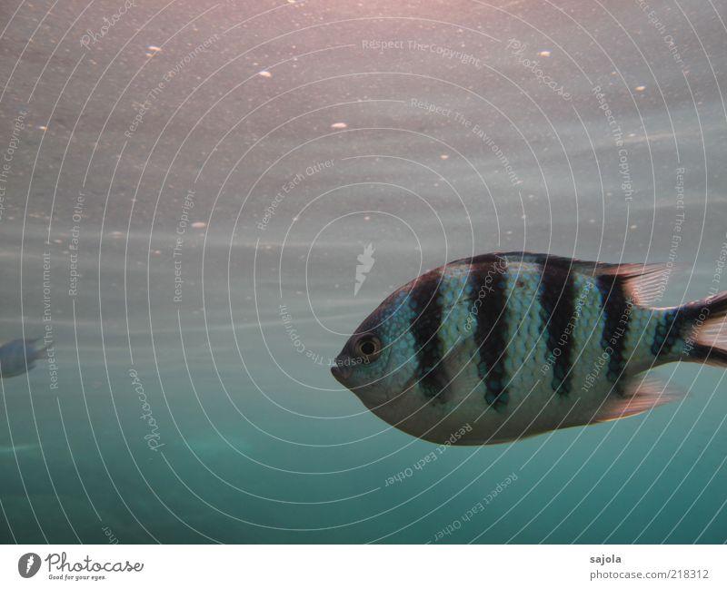 striped fish Natur Wasser weiß Meer blau schwarz Auge Tier Umwelt Fisch Streifen Wildtier Urelemente Gesichtsausdruck gestreift