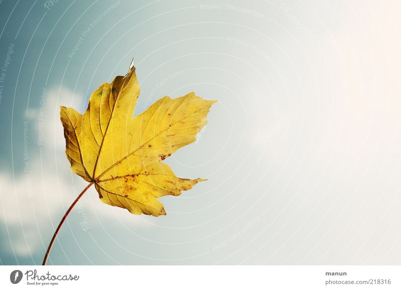 Ahornblatt richtungsweisend Natur Himmel Herbst Schönes Wetter Blatt herbstlich Herbstfärbung Herbstwetter Herbstlaub Blattadern frisch hell schön oben