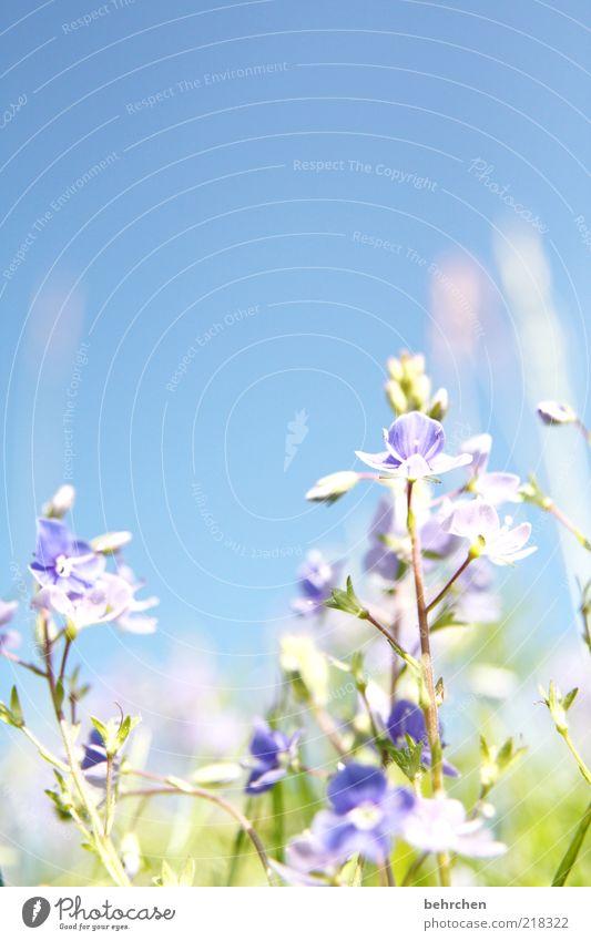 gegen den strom Umwelt Natur Pflanze Wolkenloser Himmel Frühling Sommer Schönes Wetter Blume Gras Blatt Blüte Wiese blau Wachstum Blühend hell Wärme Farbfoto