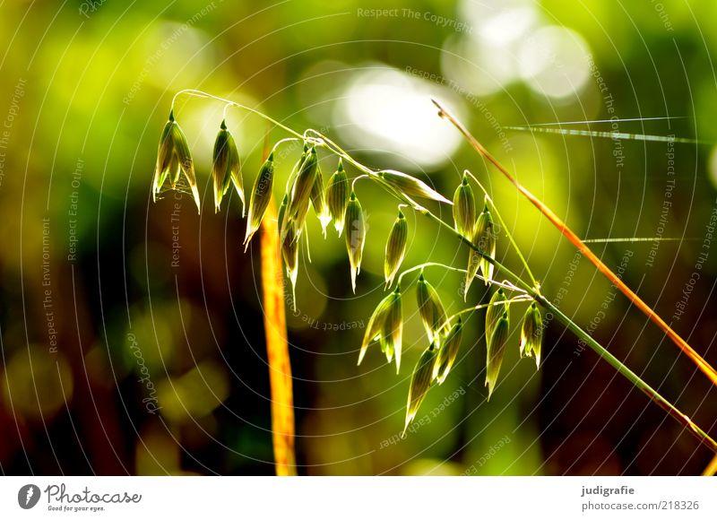 Gras Natur schön grün Pflanze Gras Stimmung Umwelt Wachstum wild zart natürlich Stengel Blühend leuchten Spinngewebe