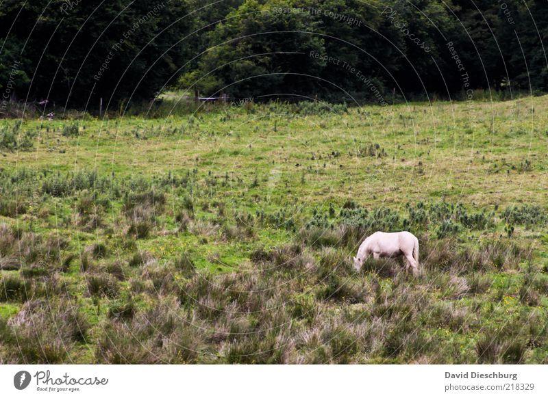 Das letzte Einhorn Natur weiß grün Baum Sommer Pflanze Einsamkeit Tier Landschaft Wiese Gras einzeln Pferd fantastisch Weide Fressen