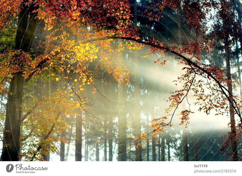 Indian summer Pflanze Sonne Sonnenlicht Herbst Schönes Wetter Nebel Baum Buche Wald glänzend natürlich braun mehrfarbig gelb gold grau orange rot schwarz