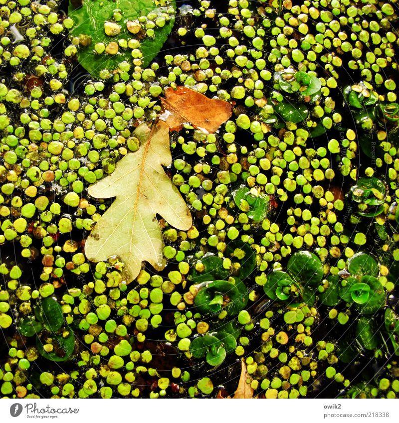 Wasserlinsen Umwelt Natur Pflanze Herbst Schönes Wetter Blatt Grünpflanze Eichenblatt Teich See liegen schaukeln verblüht ästhetisch einfach kalt rund viele