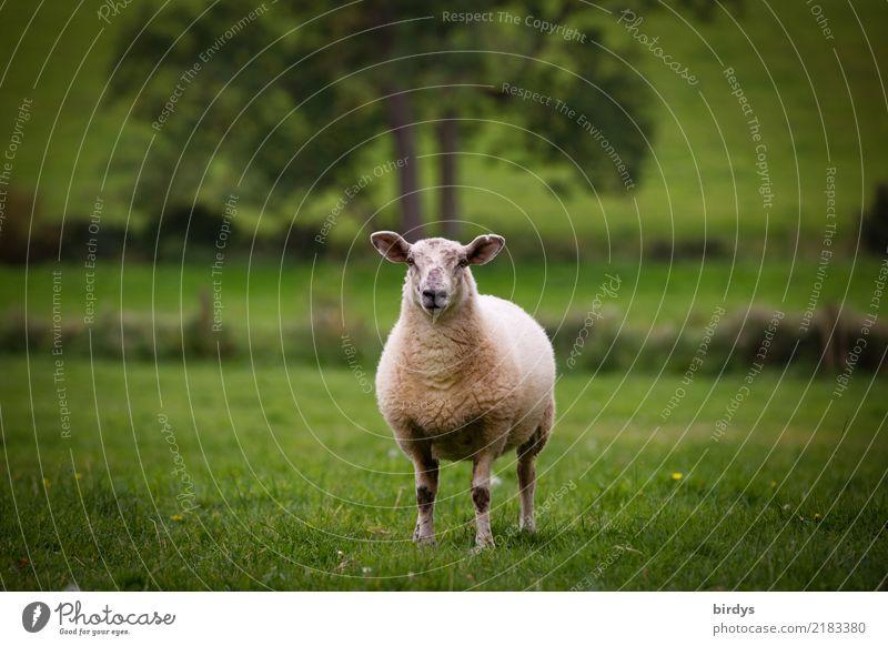 Landschaf im Schafland Landwirtschaft Forstwirtschaft Landschaft Sommer Baum Gras Wiese Nutztier 1 Tier beobachten Blick stehen ästhetisch frei Gesundheit