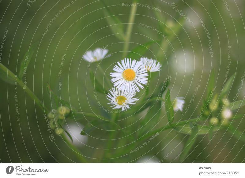 Am Wegesrand Natur Pflanze Sommer Blume Blatt Blüte Wildpflanze Wiese frisch Gesundheit schön gelb grün weiß Farbfoto Außenaufnahme Nahaufnahme Menschenleer Tag