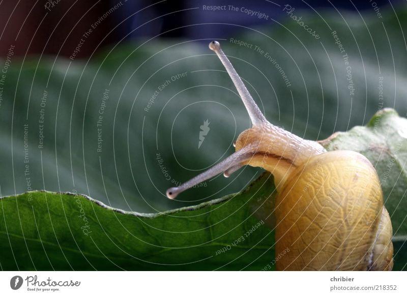 Wendehals harmonisch Wohlgefühl Natur Tier Blatt Schnecke Kriechspur Fühler Schneckenhaus Schneckenschleim 1 beobachten berühren drehen Fressen elegant glänzend