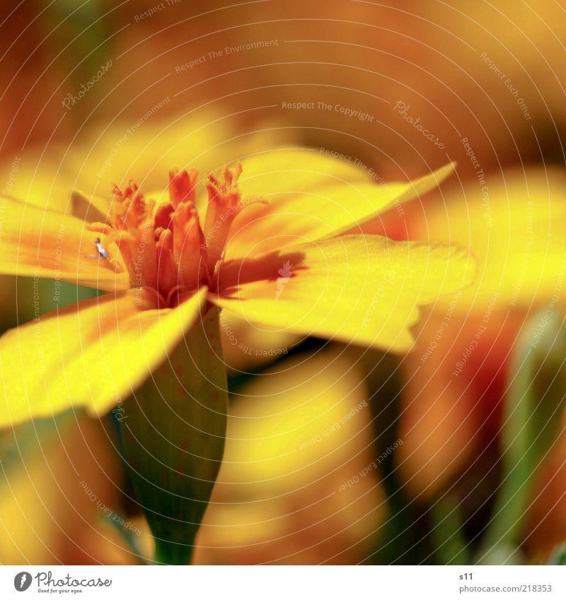 letzte Sommergrüsse Natur schön Pflanze Blume gelb Blüte Wärme Stimmung hell orange Wetter Zufriedenheit elegant modern natürlich