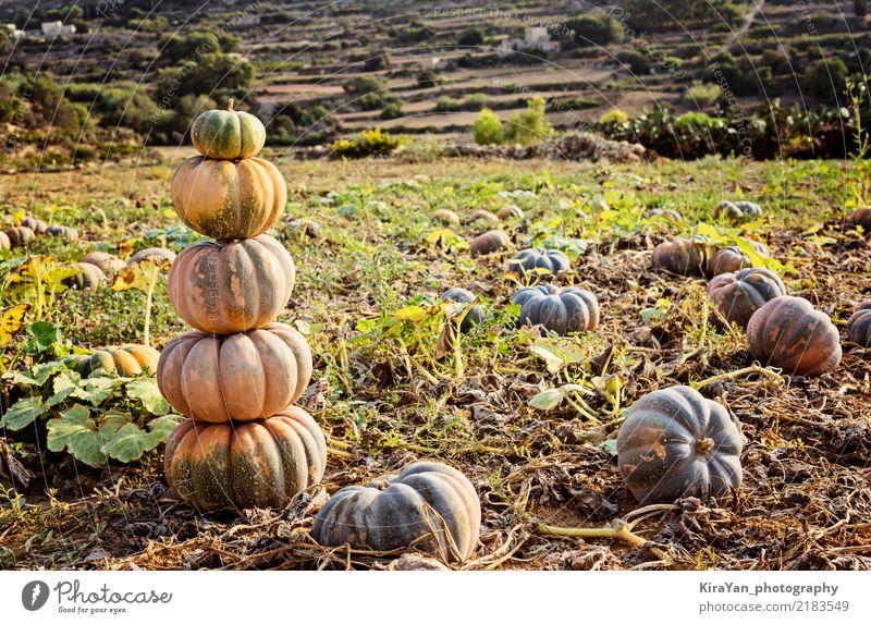 Stapel der reifen Kürbise Gemüse Garten Dekoration & Verzierung Erntedankfest Halloween Natur Landschaft Himmel Herbst frisch grün Fleck Feld Bauernhof Ackerbau