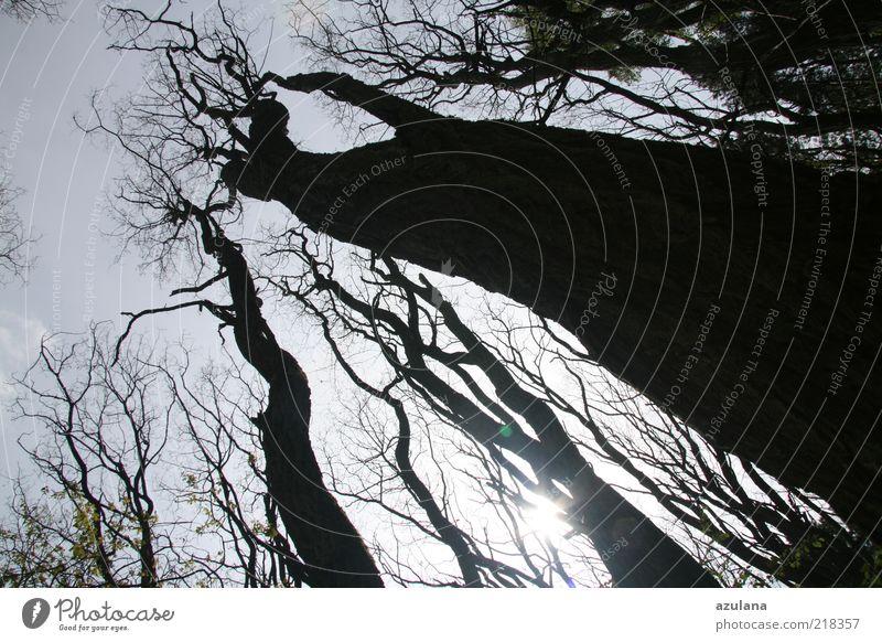 Empor harmonisch ruhig Urelemente Wolkenloser Himmel Sonnenlicht Winter Baum Wald Holz alt Traurigkeit bedrohlich gigantisch schwarz Kraft Gedeckte Farben