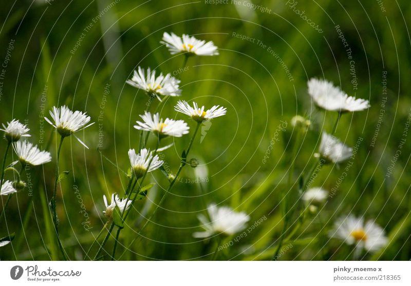 green explosion Pflanze Blüte Duft Gänseblümchen weiß gelb grün Gras Unschärfe frisch Farbfoto mehrfarbig Außenaufnahme Tag Schwache Tiefenschärfe