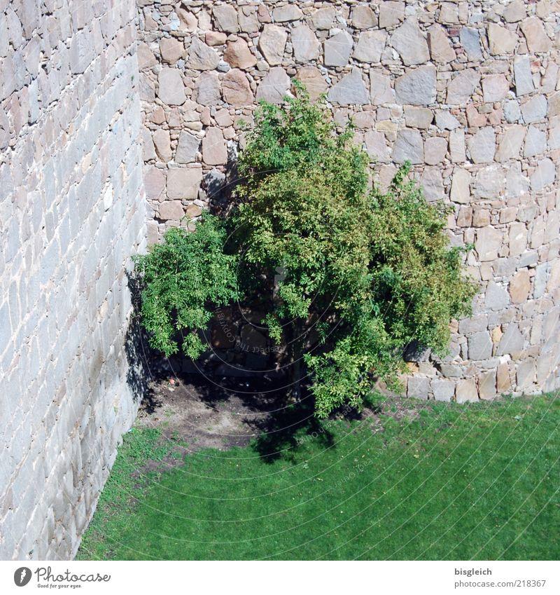 Eckensteher Baum Wiese Mauer Stein grau grün Farbfoto Außenaufnahme Menschenleer Tag Burgmauer Steinmauer 1 einzeln