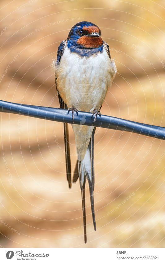 Schluck auf dem Draht Tier Vogel wild sitzen Schnabel Sperlingsvögel Uferschwalben
