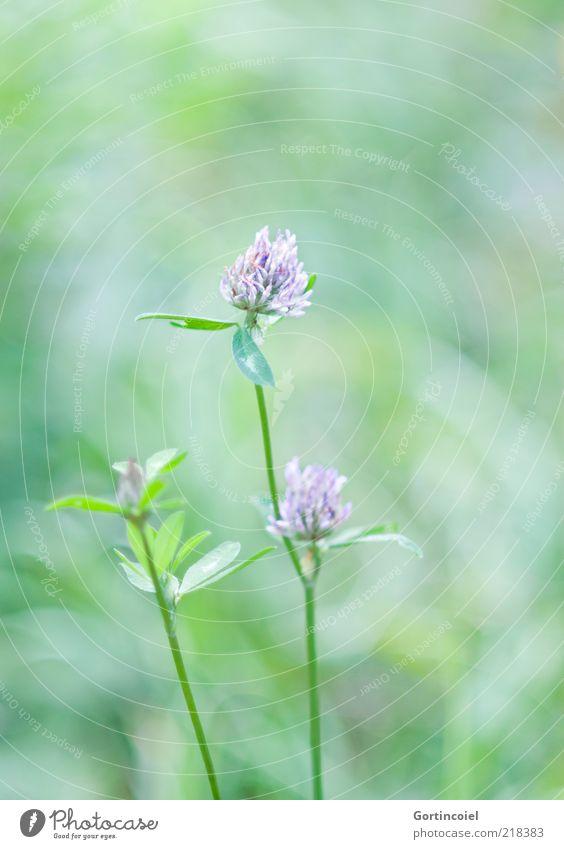Klee Umwelt Natur Sommer Pflanze Blume Blatt Blüte grün Kleeblüte Kleeblatt Farbfoto Gedeckte Farben Außenaufnahme Textfreiraum oben Schwache Tiefenschärfe Tag