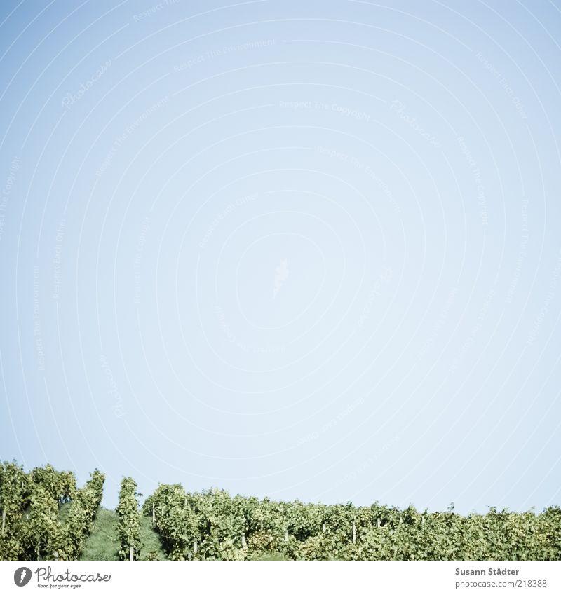 Mut zur Lücke Pflanze Frucht Wein Hügel Blühend Schönes Wetter Alkohol Blauer Himmel Wolkenloser Himmel Weintrauben Sachsen Weinberg Textfreiraum links Umwelt