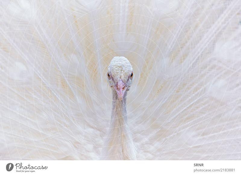 Portrait des weißen Pfaus Tier Vogel wild Vogelwelt Festakt Balzritual verdeckte Federn extravaganter Schwanz Pavo Gefieder Leitwerke weißer Pfau