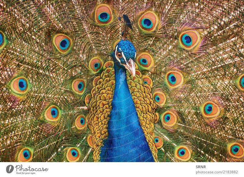 Porträt des Pfaus Natur Vogel wild Feder