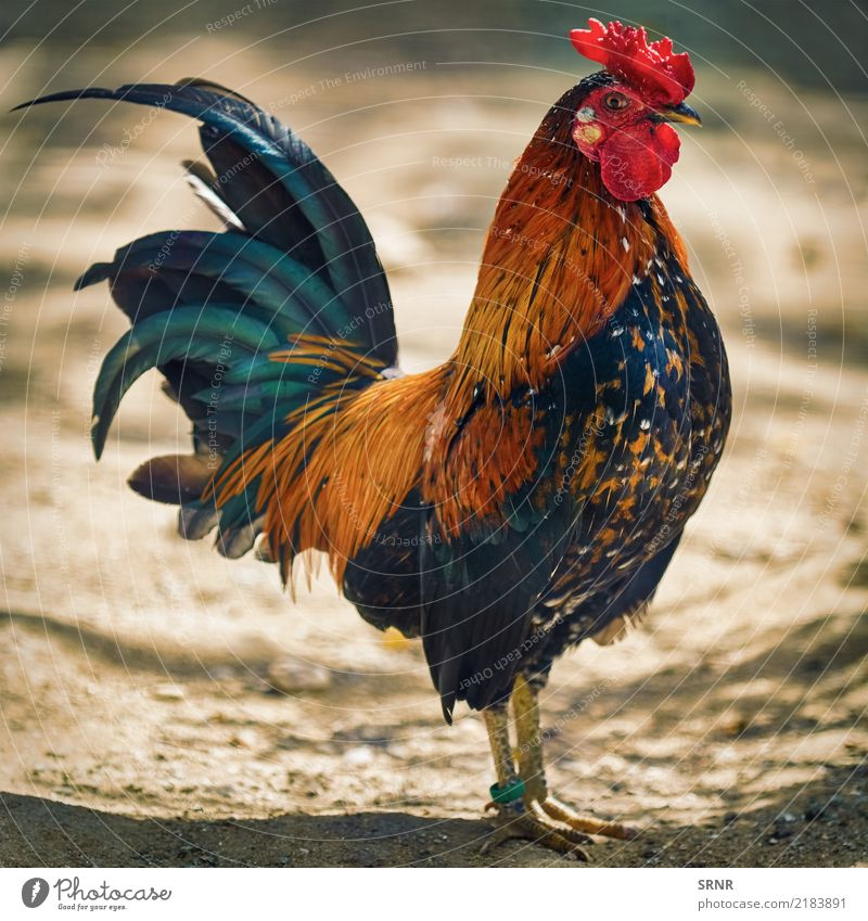 Brown Leghorn-Hahn Tier Vogel wild Vogelwelt Schnabel roter Kamm Hühnervögel Federvieh Allesfresser Geflügel domestiziertes Geflügel Haustier Fauna