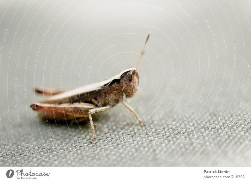 neugierig Natur schön Tier springen grau Beine Umwelt sitzen Tiergesicht Insekt Neugier Wildtier Fühler Nervosität Heuschrecke