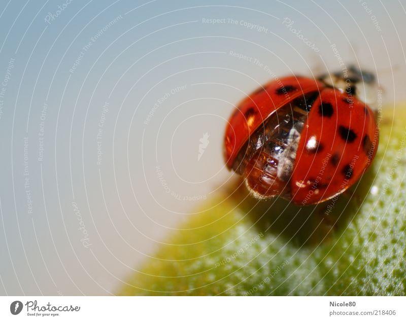 Und Abflug... Tier Marienkäfer Käfer 1 niedlich grün rot Abheben Insekt Pflanzenteile Blatt Farbfoto Innenaufnahme Makroaufnahme Textfreiraum links