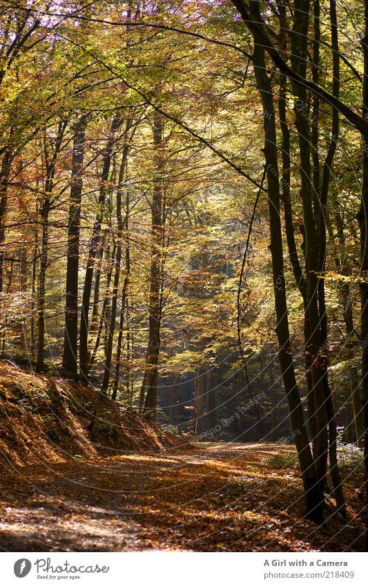 der goldener weg ist der richtige weg Umwelt Natur Landschaft Pflanze Herbst Baum Blatt Wald Hügel leuchten mehrfarbig gelb schön ruhig Idylle Unendlichkeit