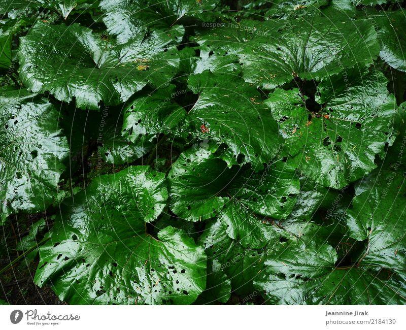 Frisches Blattwerk Garten Gartenarbeit Umwelt Natur Pflanze Grünpflanze Park Wald leuchten frisch glänzend grün nachhaltig rein Symmetrie Umweltschutz