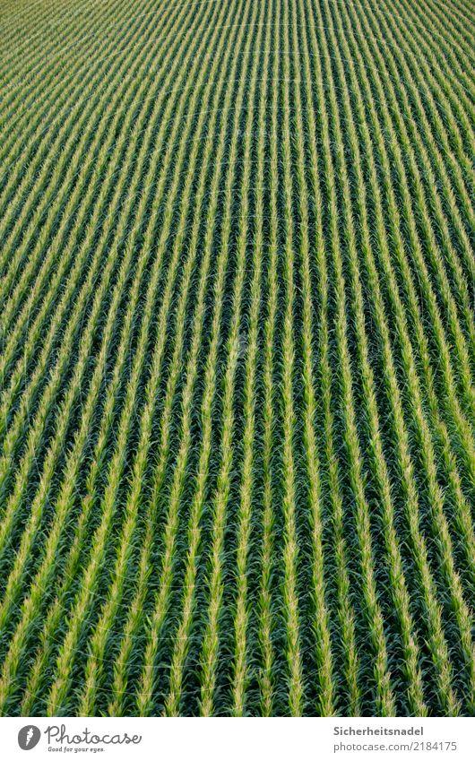 Maisfeld Gemüse Natur Herbst Pflanze Grünpflanze Maiskolben Feld grün Nikon Unendlichkeit Herbstbeginn Maispflanzen Maiskorn gerade Farbfoto Außenaufnahme