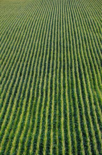 Maisfeld Natur Pflanze grün Herbst Feld Unendlichkeit Gemüse gerade Grünpflanze Herbstbeginn Maiskolben Maiskorn Maispflanzen
