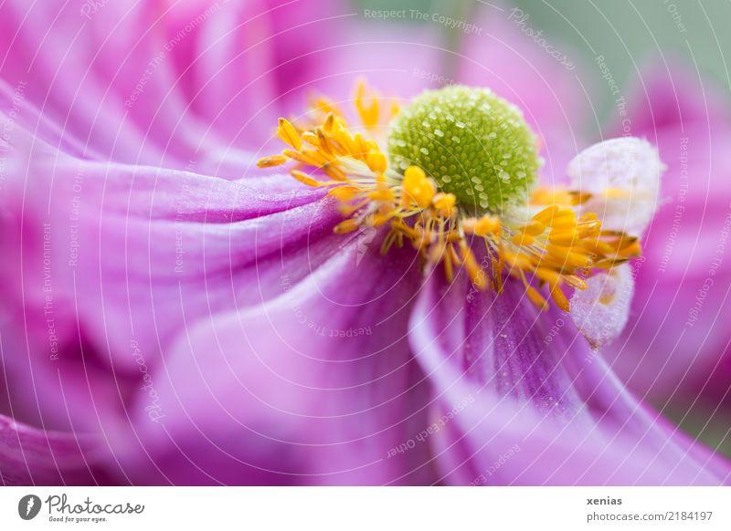 rosa Anemone Frühling Sommer Blume Blüte Anemonen Garten Park weich gelb grün Postkarte Farbfoto Außenaufnahme Schwache Tiefenschärfe