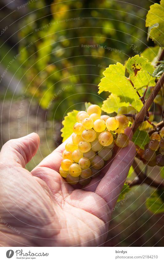sieht gut aus Wellness Kur Landwirtschaft Forstwirtschaft Winzer maskulin Hand 1 Mensch Herbst Schönes Wetter Nutzpflanze Weinberg Weinbau Weintrauben Weinlese
