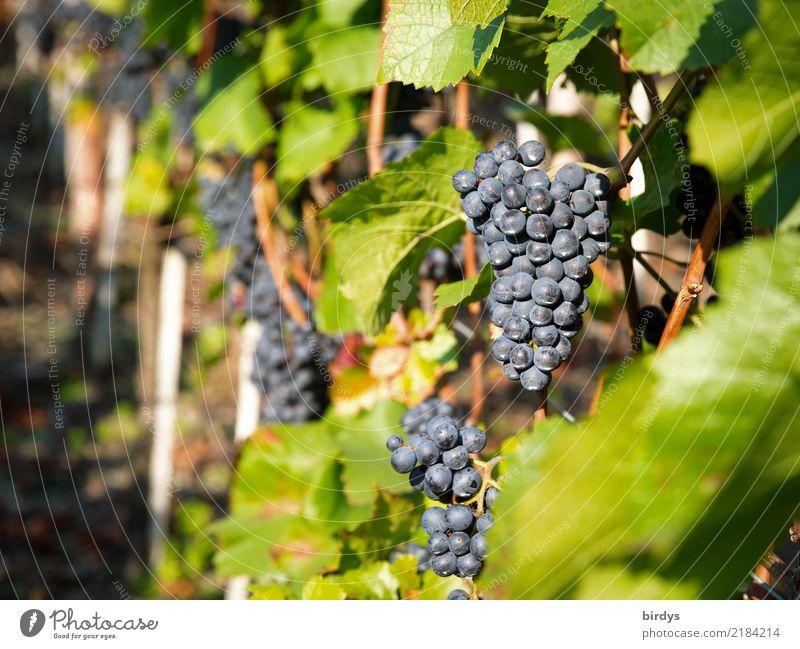 Reif für die Kelter Frucht Wein Kur Landwirtschaft Forstwirtschaft Winzer Blatt Nutzpflanze Weintrauben authentisch frisch lecker positiv saftig süß Vorfreude
