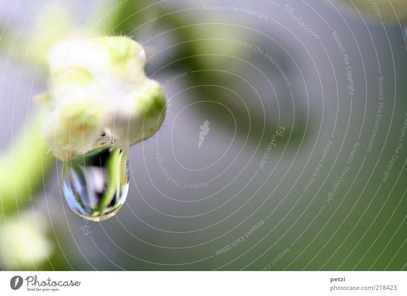 Tropfenspiegelung grün Pflanze ruhig Leben Blüte nass Wassertropfen rein Flüssigkeit feucht Tau einzeln Reinheit Makroaufnahme hydrophob
