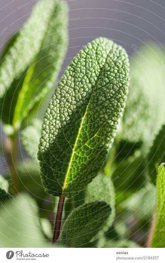 Salbeiblatt, noch nicht gepflückt Kräuter & Gewürze Ernährung Bioprodukte Vegetarische Ernährung Gesunde Ernährung Sommer Pflanze Blatt frisch Gesundheit grün