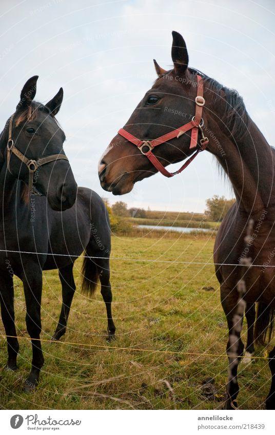 Zaungast Natur Sommer schwarz Tier Wiese Landschaft braun Tierpaar frei Pferd stehen Freizeit & Hobby Weide Brauner gegenüber Reittier