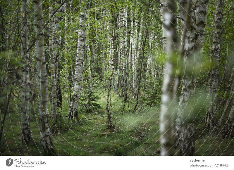 Birkenwald Natur schön Baum ruhig Wald Erholung Umwelt Leben Freiheit Wege & Pfade träumen Zeit Wandel & Veränderung einzigartig Vergänglichkeit Idylle