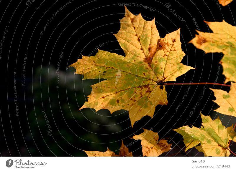 Goldener Herbst - schön im Sterben Natur Pflanze Blatt gold Hoffnung Frieden Vergänglichkeit Warmherzigkeit genießen Schönes Wetter Blattadern Herbstlaub