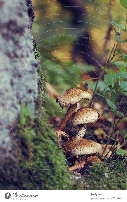 Pilze! Umwelt Natur Herbst Pflanze Moos Wald Wachstum natürlich braun grün Wildnis Boden Märchenwald Farbfoto Gedeckte Farben Außenaufnahme Menschenleer