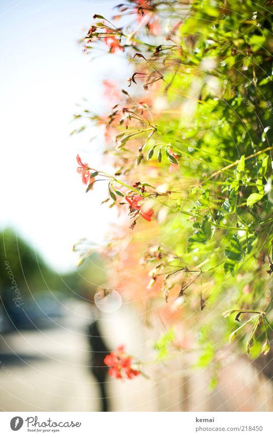 Domestizierte Blumen Umwelt Natur Pflanze Sonnenlicht Sommer Herbst Schönes Wetter Wärme Blatt Blüte Grünpflanze Topfpflanze Blühend leuchten Wachstum grün rot