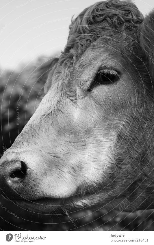 Die traurige Kuh Tier Nutztier Tiergesicht Fell Blick Traurigkeit natürlich Rind Rinderhaltung Schwarzweißfoto Außenaufnahme Nahaufnahme Menschenleer Tag