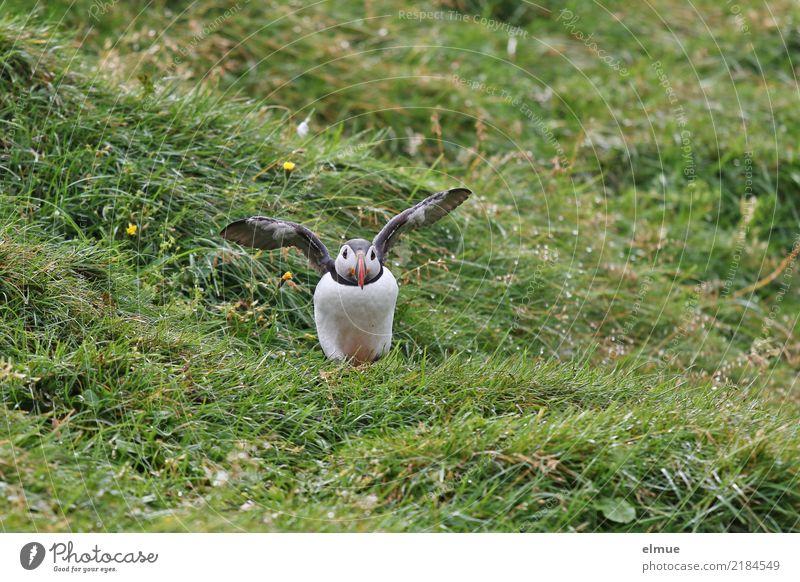Puffin ~O~ Natur Gras Küste Insel Island Wildtier Vogel Flügel Papageitaucher Lunde beobachten Bewegung fliegen stehen klein nah Neugier Lebensfreude achtsam