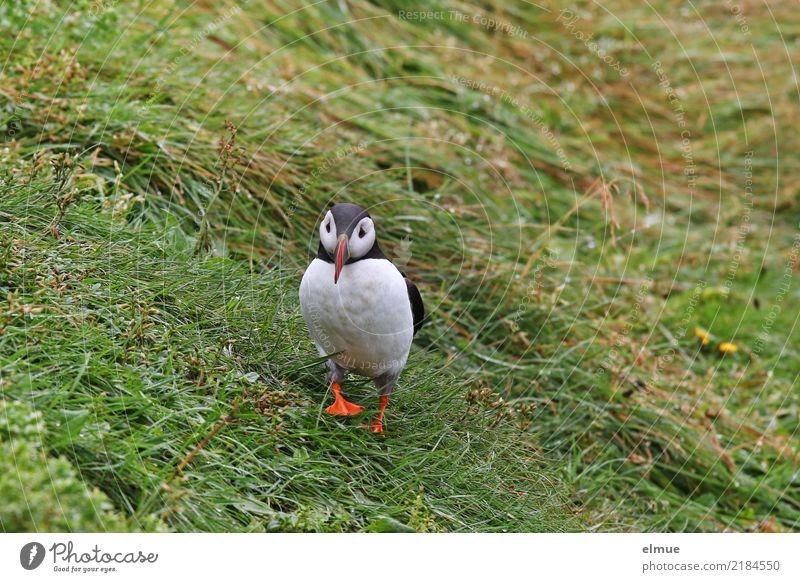 Puffin Q Natur Gras Küste Insel Island Wildtier Vogel Papageitaucher Lunde beobachten Kommunizieren laufen schön klein nah Neugier Romantik Partnerschaft