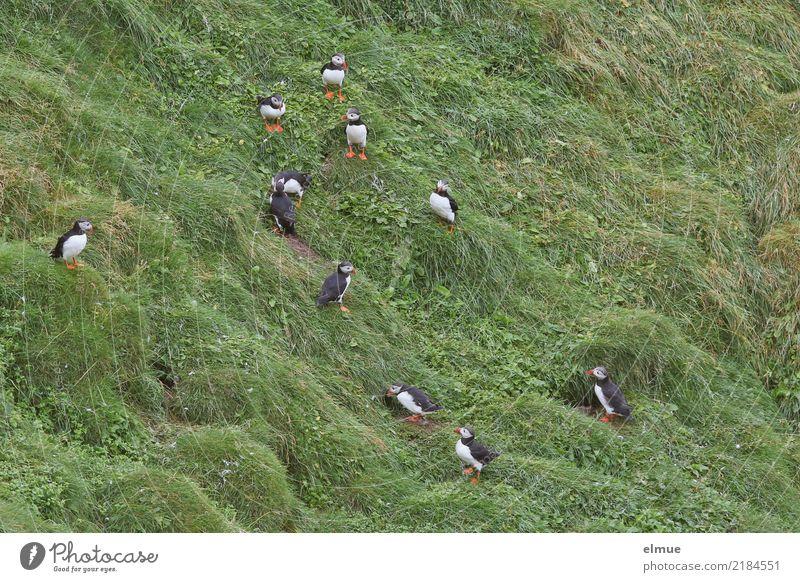 Puffins ooooooooooo Natur Wiese Küste Wildtier Vogel Papageitaucher Lunde Tiergruppe beobachten Kommunizieren stehen authentisch Zusammensein klein Neugier
